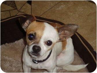 Chihuahua Dog for adoption in San Diego, California - Reba