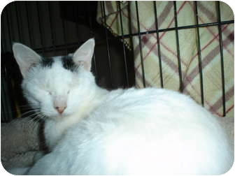American Shorthair Cat for adoption in Mesquite, Texas - Cami