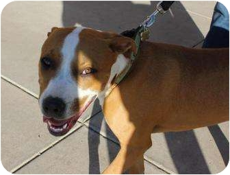 American Pit Bull Terrier Mix Dog for adoption in Mesa, Arizona - Rocky