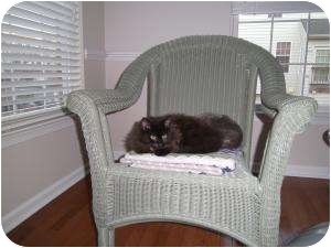 American Shorthair Kitten for adoption in Reston, Virginia - Bradley
