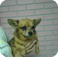 Chihuahua Dog for adoption in St. Petersburg, Florida - Spike