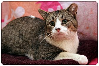 Domestic Shorthair Cat for adoption in Sterling Heights, Michigan - Fritz - ADOPTED!