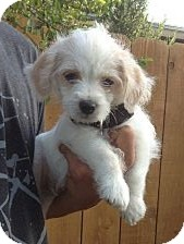 Shih Tzu/Poodle (Miniature) Mix Puppy for adoption in Santee, California - Daily
