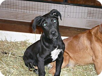 Labrador Retriever/German Shorthaired Pointer Mix Puppy for adoption in Liberty Center, Ohio - Micah