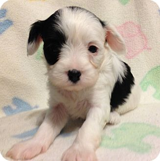 Maltese Mix Puppy for adoption in Bridgeton, Missouri - Pattie
