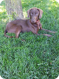 Labrador Retriever/Vizsla Mix Dog for adoption in Orland Park, Illinois - Hershey