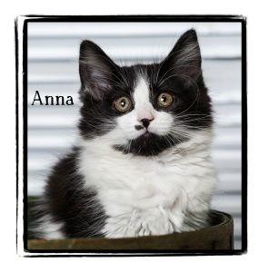 Domestic Mediumhair Kitten for adoption in Warren, Pennsylvania - Anna