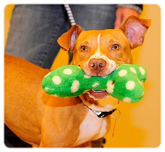 American Pit Bull Terrier/American Staffordshire Terrier Mix Dog for adoption in Grafton, Ohio - Sunny