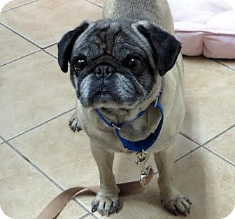 Pug Mix Dog for adoption in Middletown, New York - Knowledge