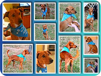 Italian Greyhound/Labrador Retriever Mix Dog for adoption in Marietta, Georgia - Jasper