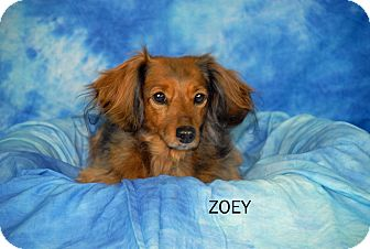 Dachshund Dog for adoption in Ft. Myers, Florida - Zoey