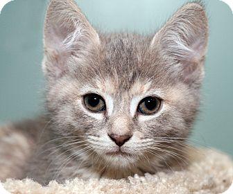 Domestic Shorthair Kitten for adoption in Royal Oak, Michigan - BIANCA
