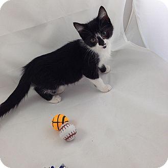Domestic Shorthair Kitten for adoption in Fountain Hills, Arizona - BABS