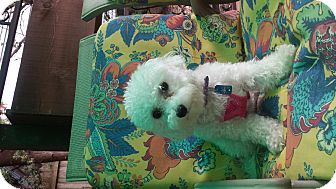 Maltese/Poodle (Toy or Tea Cup) Mix Dog for adoption in Algonquin, Illinois - misha