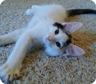 Turkish Van Kitten for adoption in Palmdale, California - Harley