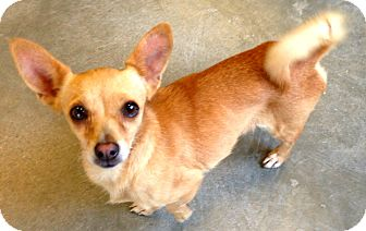 Chihuahua Mix Dog for adoption in Lake Worth, Texas - Bugsy