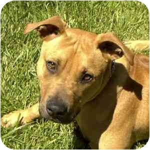 Labrador Retriever/American Pit Bull Terrier Mix Dog for adoption in Berkeley, California - Rufus