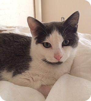 Domestic Shorthair Kitten for adoption in Brooklyn, New York - Jimmy Dean