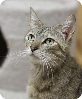 Domestic Shorthair Cat for adoption in Winston-Salem, North Carolina - Sage