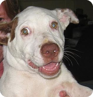 Pointer/American Staffordshire Terrier Mix Puppy for adoption in Bulverde, Texas - Taffy