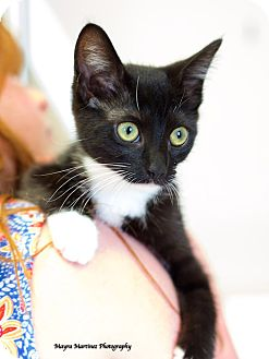 Domestic Mediumhair Kitten for adoption in Marietta, Georgia - Ladybug