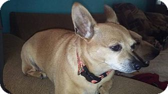Chihuahua Dog for adoption in Decatur, Alabama - LOLA