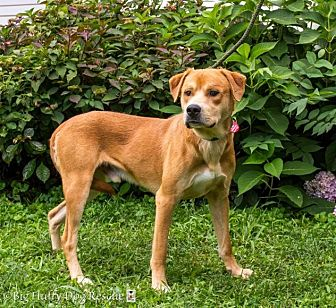 Labrador Retriever Mix Dog for adoption in Enfield, Connecticut - Wally