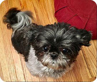 Shih Tzu Dog for adoption in Eden Prairie, Minnesota - PANDA