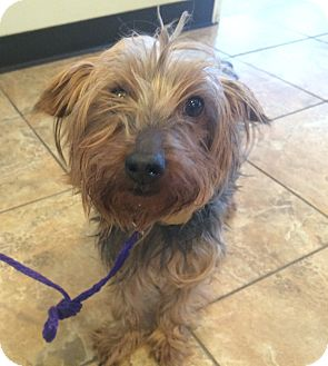Yorkie, Yorkshire Terrier Dog for adoption in Oak Ridge, New Jersey - Joey