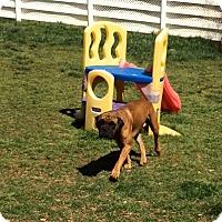 Adopt A Pet :: Rocky - Greenville, SC