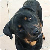 Adopt A Pet :: Ricco - Gilbert, AZ