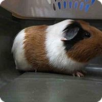 Adopt A Pet :: *Urgent* Teddy - Fullerton, CA