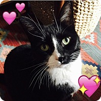 Domestic Shorthair Cat for adoption in New York, New York - Byrdie (goes by Kitty)