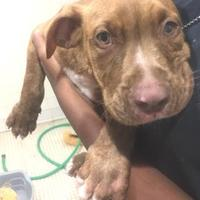 American Pit Bull Terrier Mix Dog for adoption in St. Thomas, Virgin Islands - LUCAS