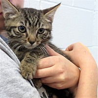 Domestic Shorthair Kitten for adoption in Indiana, Pennsylvania - McGee