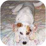 Jack Russell Terrier Mix Dog for adoption in Pittsboro/Durham, North Carolina - Juliette