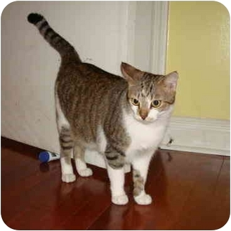 Domestic Shorthair Cat for adoption in Boca Raton, Florida - Missy