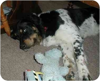 English Springer Spaniel/Border Collie Mix Dog for adoption in Berea, Ohio - Diesel-Courtesy Post