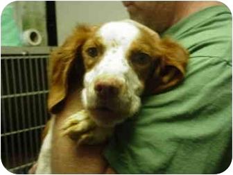 Brittany Dog for adoption in Manassas, Virginia - ZUZU