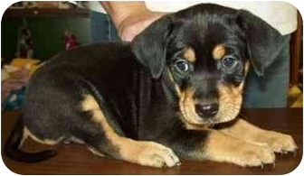 Rat Terrier/Labrador Retriever Mix Puppy for adoption in North Judson, Indiana - Gordy