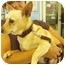 Photo 1 - Cardigan Welsh Corgi/Chihuahua Mix Dog for adoption in San Clemente, California - JUANITA
