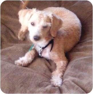 Bichon Frise Mix Dog for adoption in El Cajon, California - Apricot