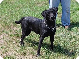 Labrador Retriever Mix Dog for adoption in North Judson, Indiana - Abigail