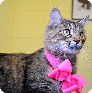 Maine Coon Cat for adoption in Corpus Christi, Texas - Mahogany