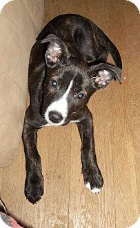 Labrador Retriever/Bull Terrier Mix Puppy for adoption in Proctorville, Ohio, Ohio - Nala