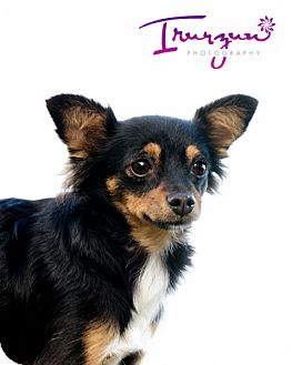 Chihuahua Dog for adoption in Palm Harbor, Florida - Koko