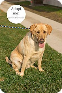 Labrador Retriever Dog for adoption in Brookings, South Dakota - DUG!