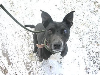 American Pit Bull Terrier/Terrier (Unknown Type, Medium) Mix Dog for adoption in Zanesville, Ohio - #039-14  RESCUED!