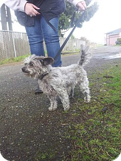 Yorkie, Yorkshire Terrier/Poodle (Miniature) Mix Dog for adoption in Yelm, Washington - Mickey