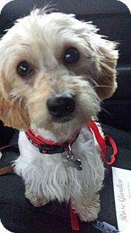 Dandie Dinmont Terrier Dog for adoption in Kingwood, Texas - Scottie